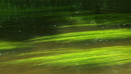 Green Seaweed In The River