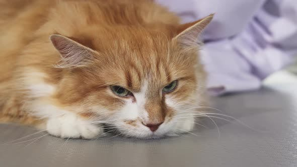 Thumbnail for Adorable Sleepy Ginger Cat Being Brushed By the Owner