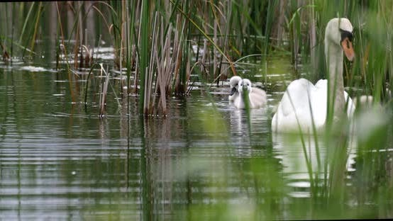 Thumbnail for Wild bird mute swan in spring on pond