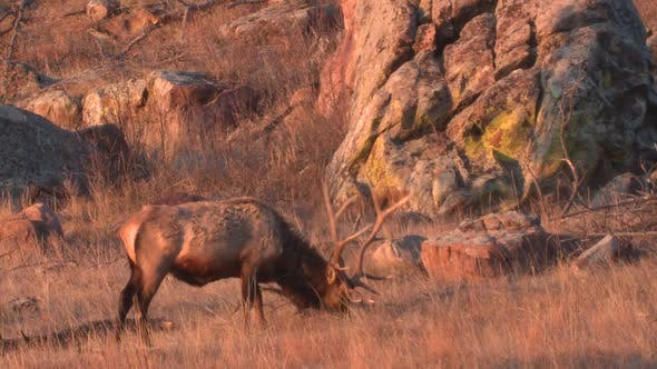 Thumbnail for Elk Bull Adult Lone Eating Grazing in Autumn Dawn Morning