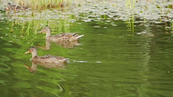 Several Wild Ducks Floating on a Pond Overgrown, Camera Tracking