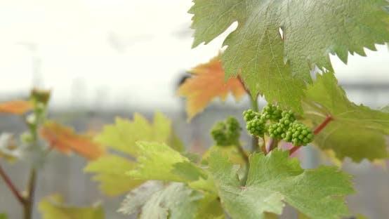 Thumbnail for Fresh new planting new grape