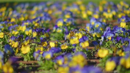 Purple and yellow flowers sway in wind