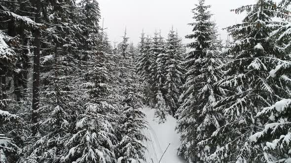 Cover Image for Beautiful Cloudy Winter Fir-trees