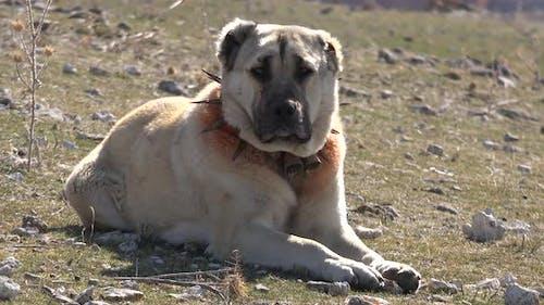 Shepherd Dog in Meadow