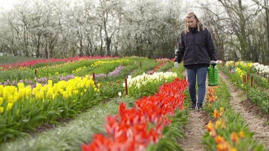 Thumbnail for Agriculture Farmer Watering Tulips at Tulip Flower Plantation