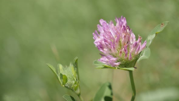 Thumbnail for Close-up Herbaceous specie red clover plant in the field  4K 2160p 30fps UltraHD footage - Shallow D