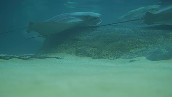 Thumbnail for Stingrays swimming in an aquarium