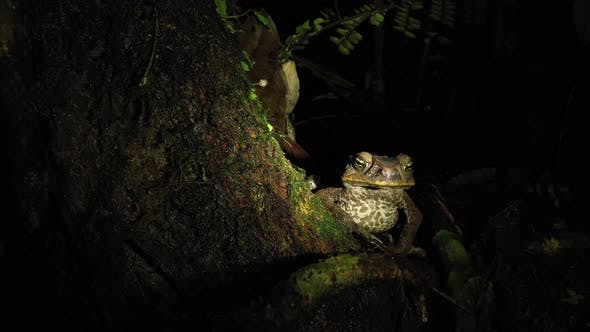 Still video of a cane toad Rhinella marina with a dark brown coloration