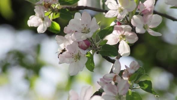 honey bee flying around honeysuckle flowers collecting nectar pollen