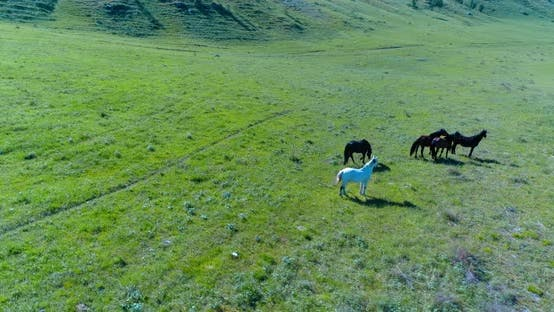 Thumbnail for Low Altitude Orbital Flight Over Wild Horses Herd at Perfect Green Rural Field