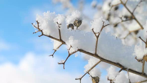 Thumbnail for Snow Covered Branches