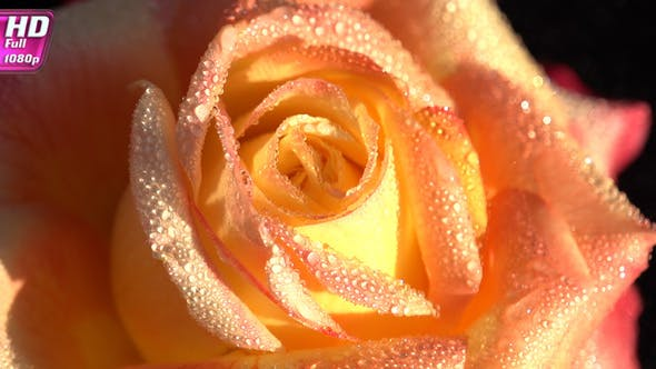 Thumbnail for Drops Of Dew On A Delicate Rose