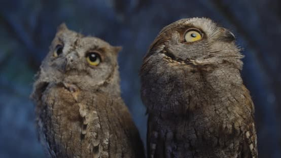 Close Up Footage of Two Adorable Baby Owls Moving Their Heads, Wildlife,