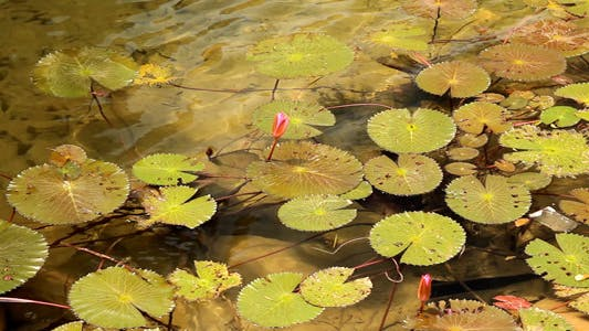 Thumbnail for Lotus In The Pond