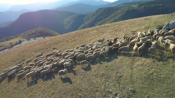 Aerial Drone View of Sheep Grazing in Mountain Pasture in Bulgaria