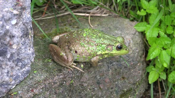 Thumbnail for Bullfrog Adult Alone in Summer Rock in Wisconsin