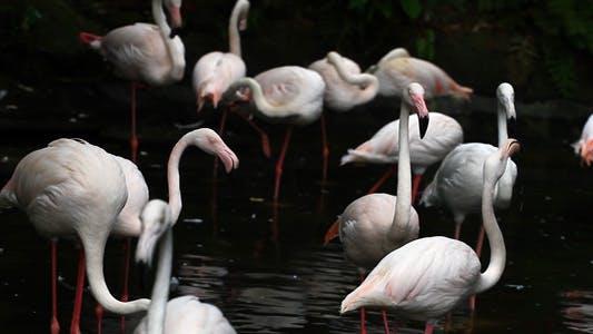 Thumbnail for Bird - Flamingo