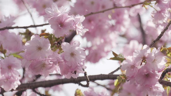 Thumbnail for Cherry Blossom Blowing On The Wind