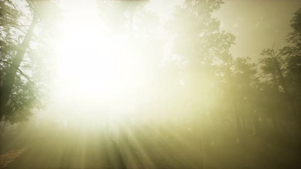 Thumbnail for Redwood Forest Foggy Sunset Scenery