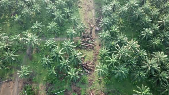 Bird eye view oil palm plantation and some dead oil palm