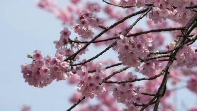 Spring Blossom Sakura