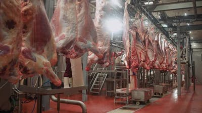 Meat Processing Plant Male Butchers Trim Beefs Carcass Meat Production and Food Industry the Process