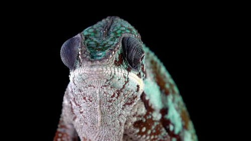 Panther Chameleon Looking Around