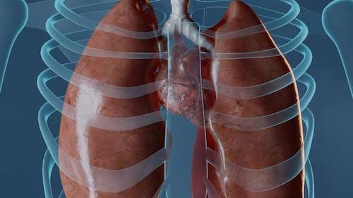 Herz Pumpen Blut in Frau Körper