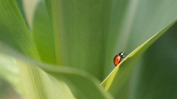 Thumbnail for Ladybird on the corn leaf 4K 2160p 30fps UltraHD footage -  Coccinellidae  red beetle close-up  3840