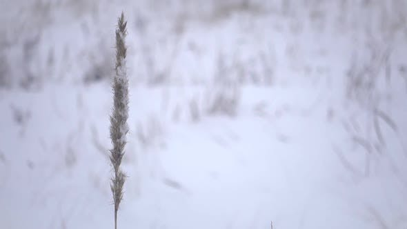 Thumbnail for Winter in the Nature, One Grass and Snow on the Wind