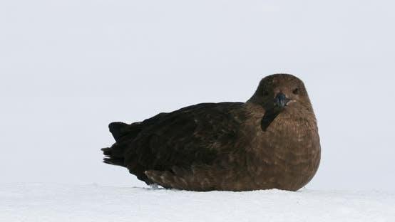 Thumbnail for Brown Skua auf Schnee