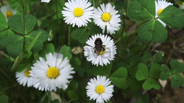 Bee on daisy flower