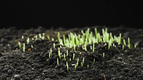 Growing Plants in Timelapse, Sprouts Germination Newborn Plant, Rye Field, Cereal Crop, Time Lapse