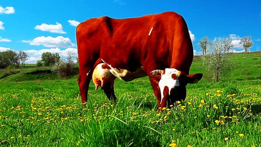 Thumbnail for Cow On Meadow