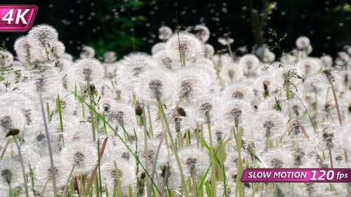 Big Glade Of Mature Dandelions