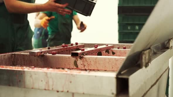 Thumbnail for Berries Are Processed At The Plant.