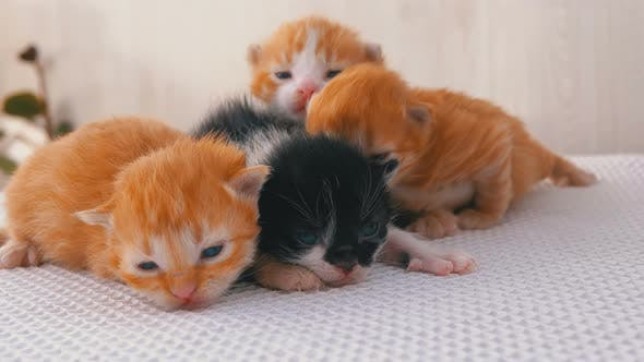 Thumbnail for Little Fluffy Four Kittens Are Two Weeks Old, Crawling Around on a White Rug