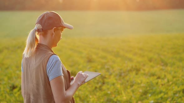 Cover Image for Back View of A Farmer Works in a Field of Young Corn, Uses a Tablet