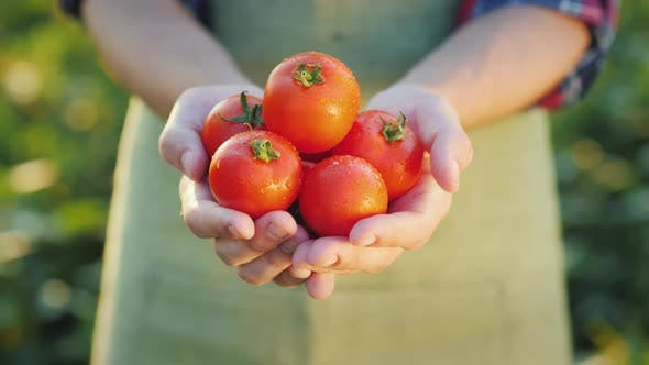 Thumbnail for A Man Holds Several Ripe Tomatoes in His Hands