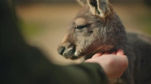 Little eastern grey kangaroo eating from a person's hand, close up