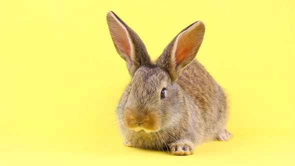 A Small Fluffy Calm Brown Easter Bunny Sitting on a Pastel Yellow Background