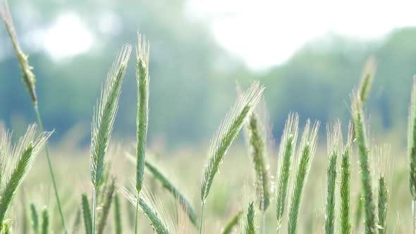 Cover Image for Rye Field Cereal Grain Agriculture