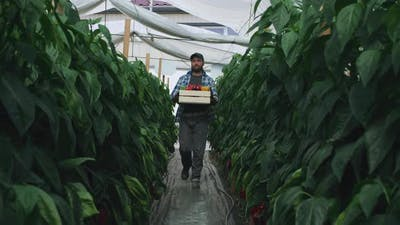 Bearded Gardener with Peppers Walking in Hothouse