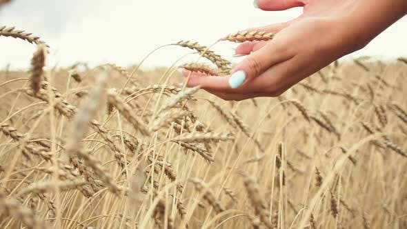 Thumbnail for Female Hand Touching a Golden Wheat Ear in the Wheat Field
