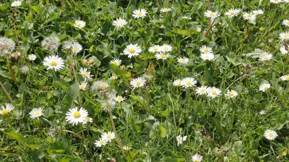 Thumbnail for Asteraceae family common daisies in the grass spring background slow tilt 4K 2160p 30fps UltraHD  vi