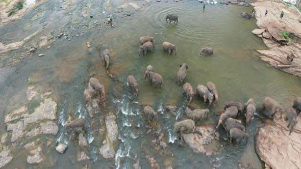 Thumbnail for Elephants Bathing in the River. Pinnawala Elephant Orphanage. Sri Lanka.