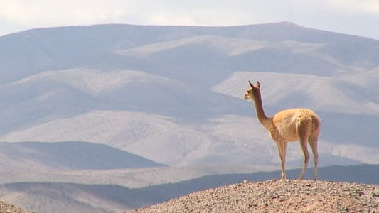 Vicuna From Salta, Argentina