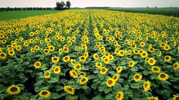 Thumbnail for Aerial view of sunflowers in fresh green fields.