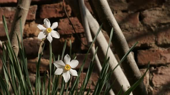 Daffodil plant  in front of wall  background  4K 2160p 30fps UltraHD footage - Close-up of Narcissus